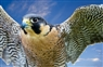 Roaches peregrine chicks go missing