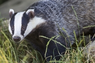 BMC helps with badger vaccination programme in Derbyshire