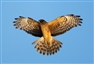 BMC calls for immediate end to the illegal killing of birds of prey